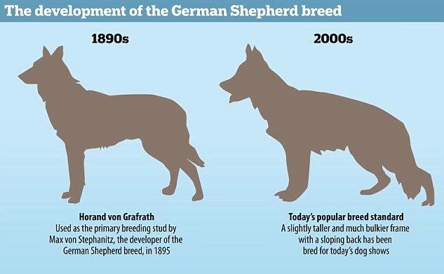 The Adoption of Furry Beasts: Black German Shepherds