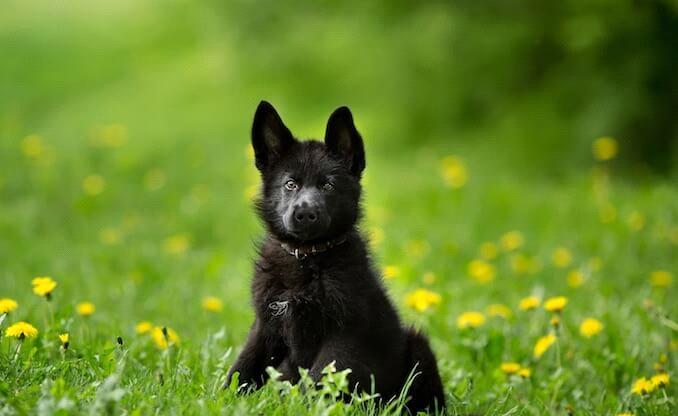 second name to Black German Shepherd