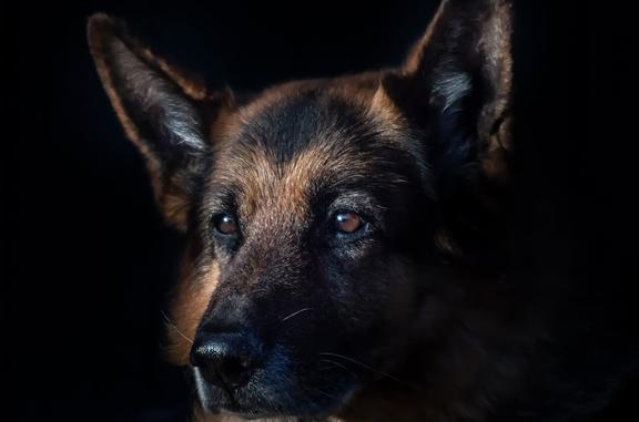 Black German Shepherd training