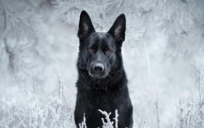 Black German Shepherd In Snow