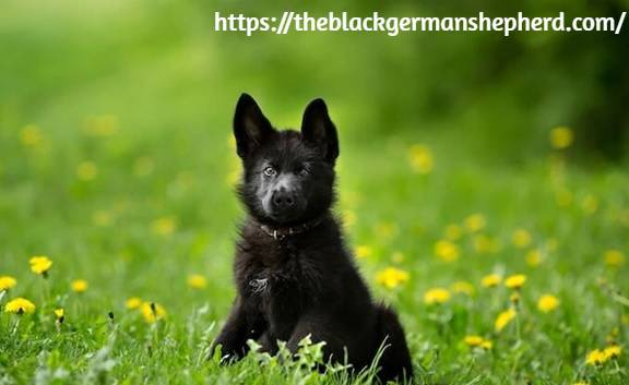 black german shepherd south Africa physical appearance
