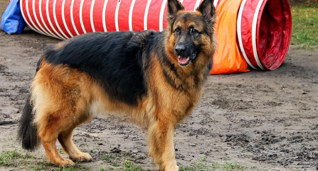 Black German shepherd pitbull