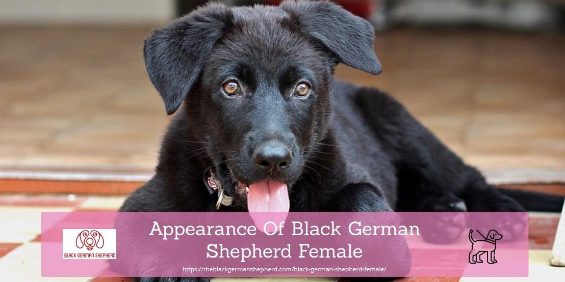 Appearance Of Black German Shepherd Female