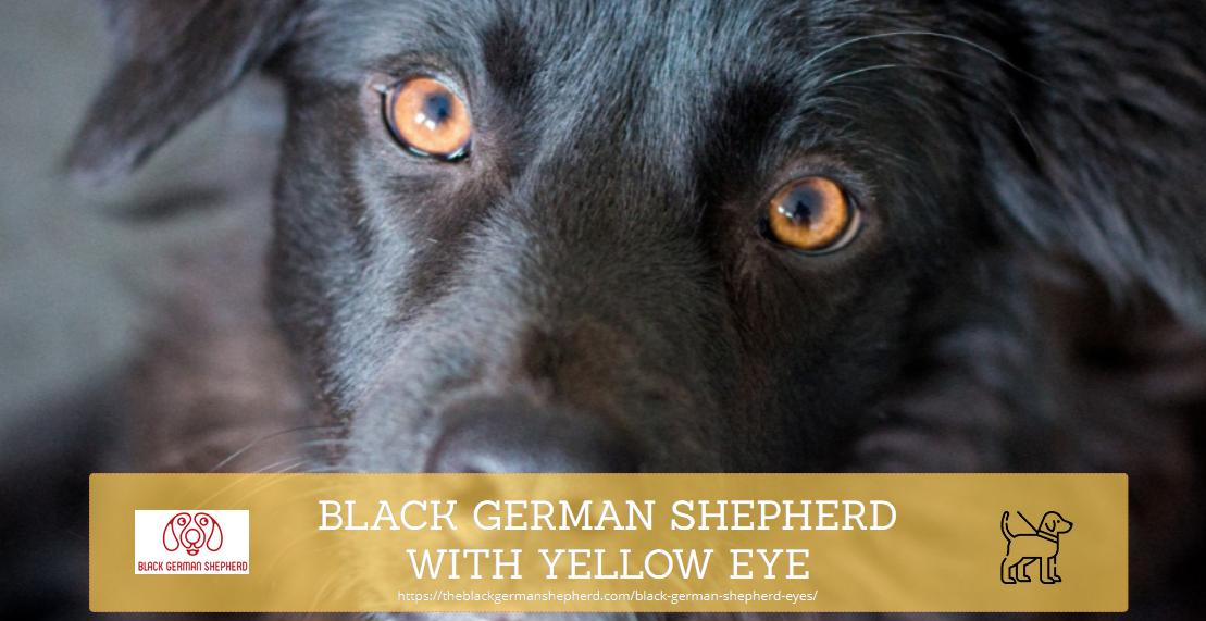 BLACK GERMAN SHEPHERD WITH YELLOW EYE