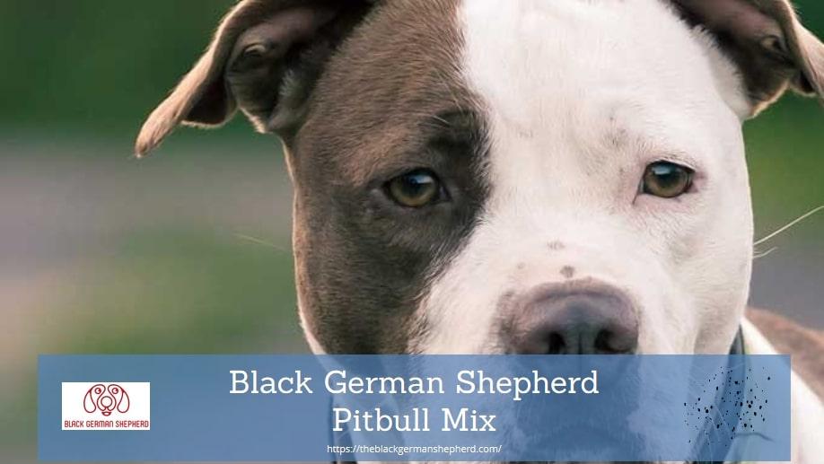 Black German Shepherd Pitbull Mix
