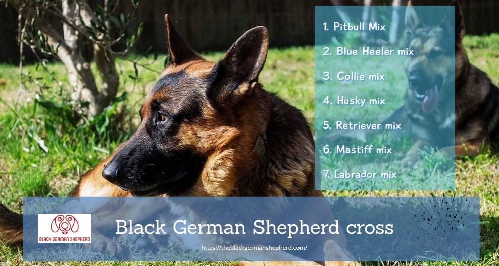 Black German Shepherd cross