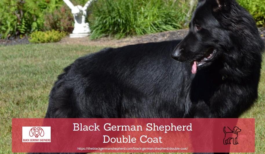 Black German Shepherd double coat