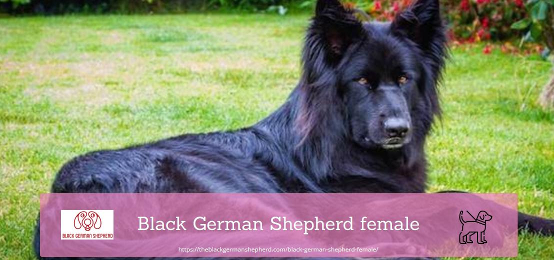 Black German Shepherd female