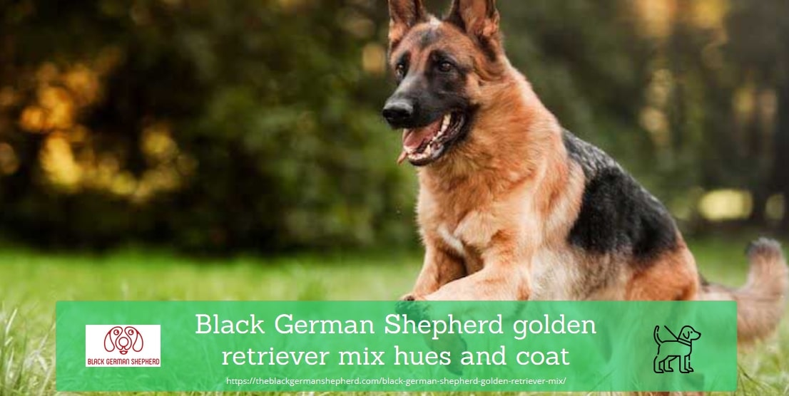 Black German Shepherd Golden Retriever Mix