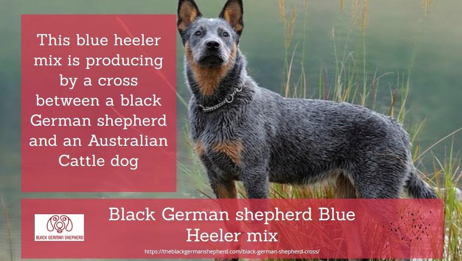 Black German shepherd Blue Heeler mix