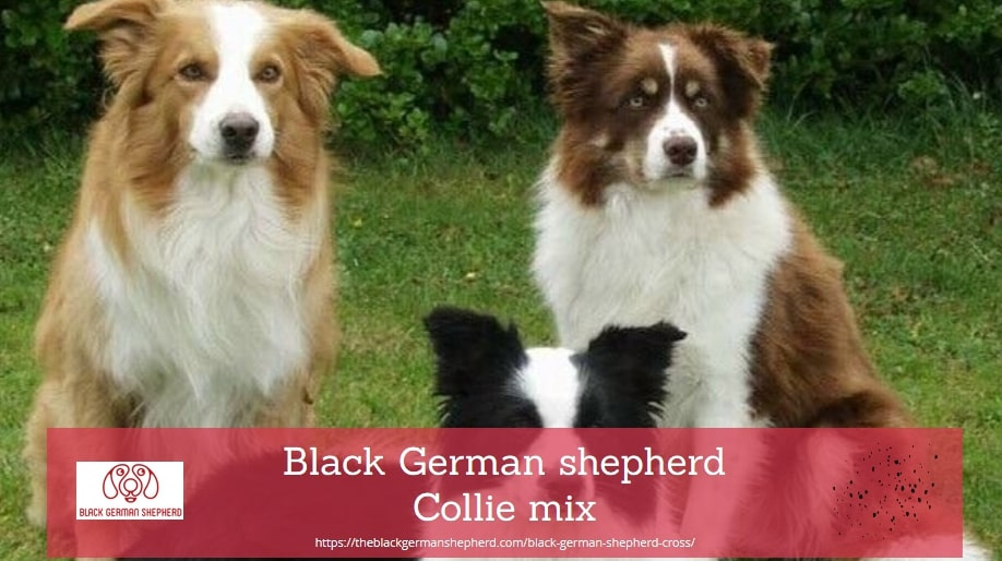 Black German shepherd Collie mix