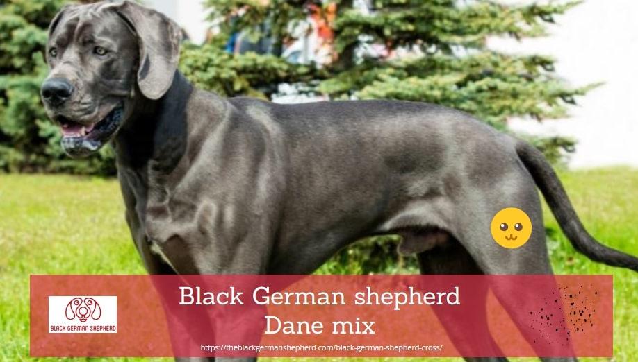 Black German shepherd Dane mix