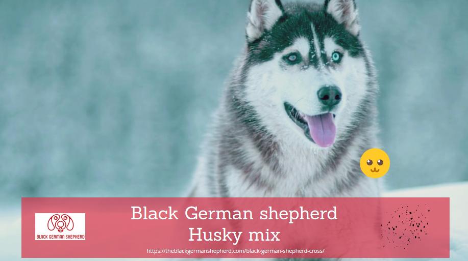 Black German shepherd Husky mix