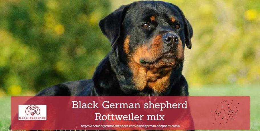 Black German shepherd Rottweiler mix