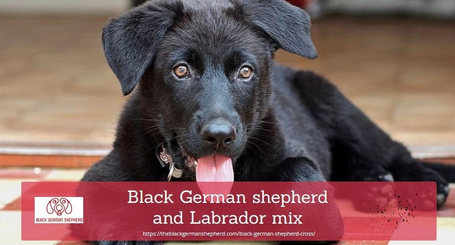 Black German shepherd and Labrador mix