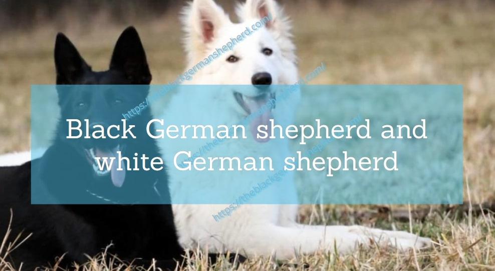 Black German shepherd and white German shepherd