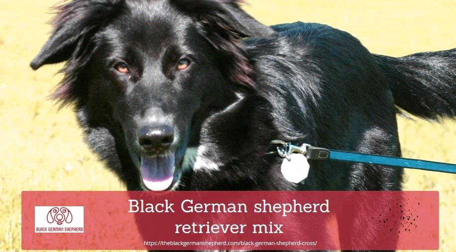 Black German shepherd retriever mix
