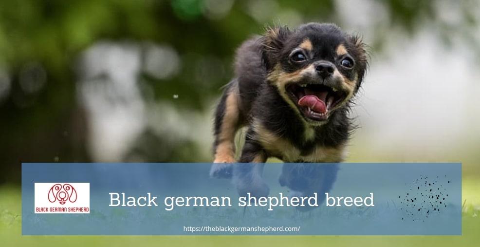 Black german shepherd breed