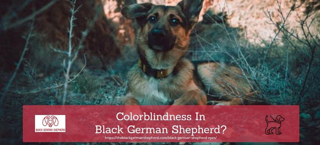 COLORBLINDNESS in black german shepherd