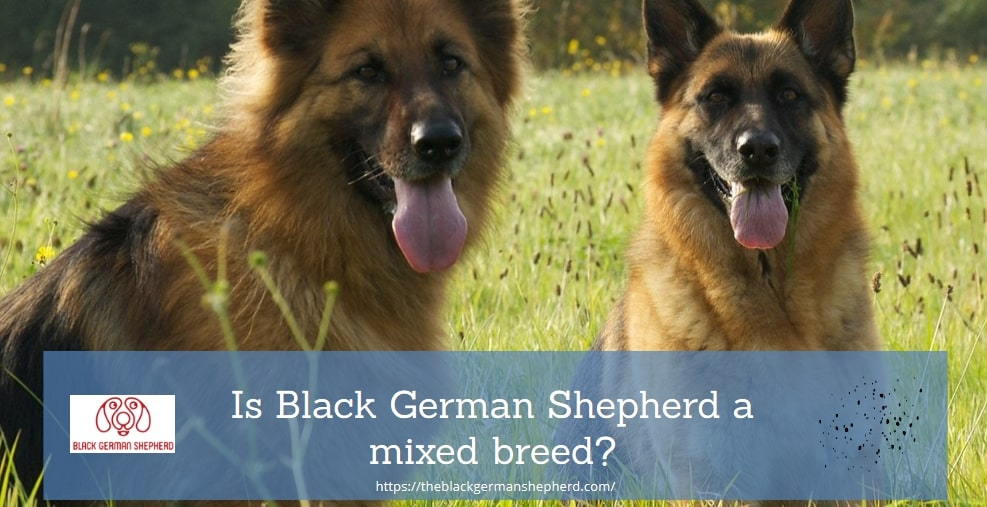 Is Black German Shepherd a mixed breed?