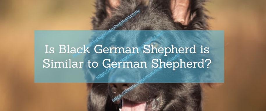 Is Black German Shepherd is Similar to German Shepherd