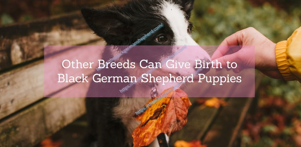 Other Breeds Can Give Birth to Black German Shepherd Puppies