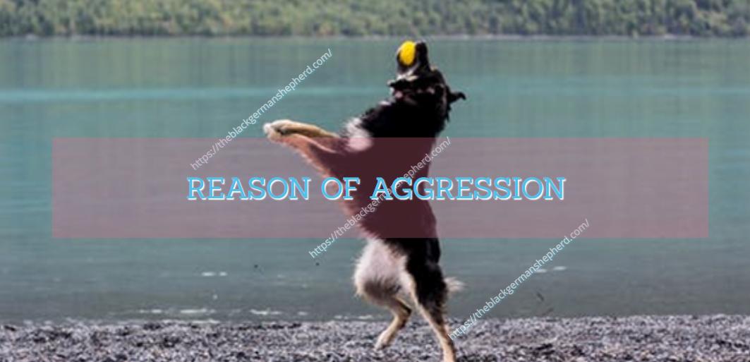 REASON OF AGGRESSION (Black German shepherd attack aggressive)