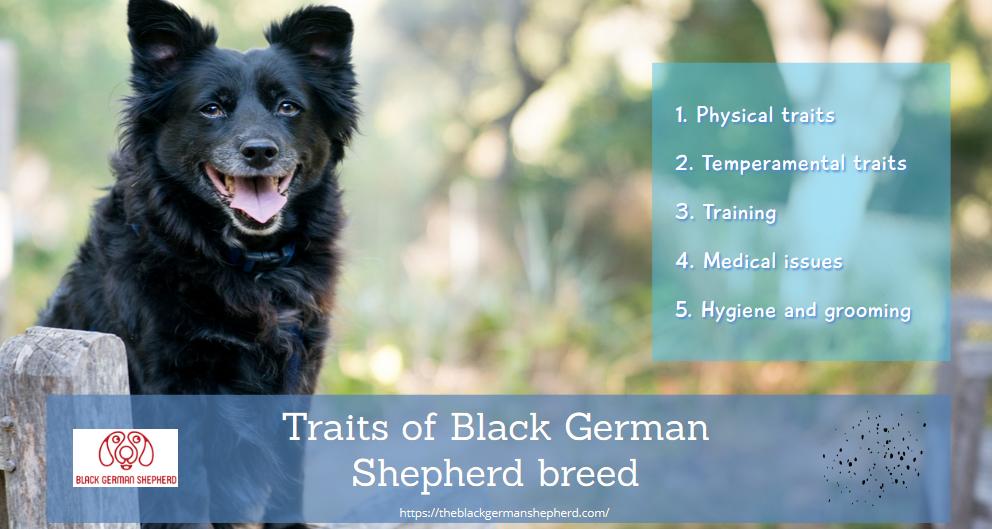 Traits of Black German Shepherd breed