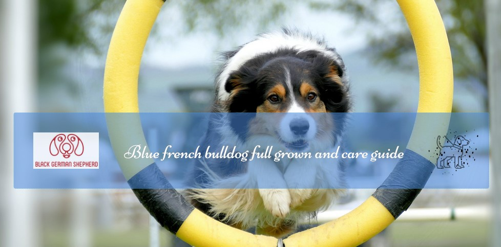 Blue french bulldog full grown and care guide
