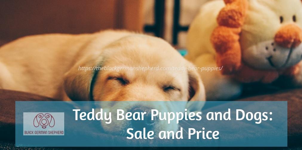 Teddy Bear Puppies