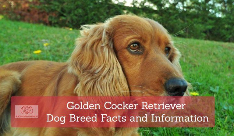 Golden Cocker Retriever