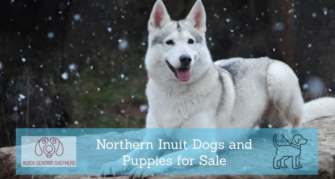 Northern Inuit Dogs and Puppies for Sale