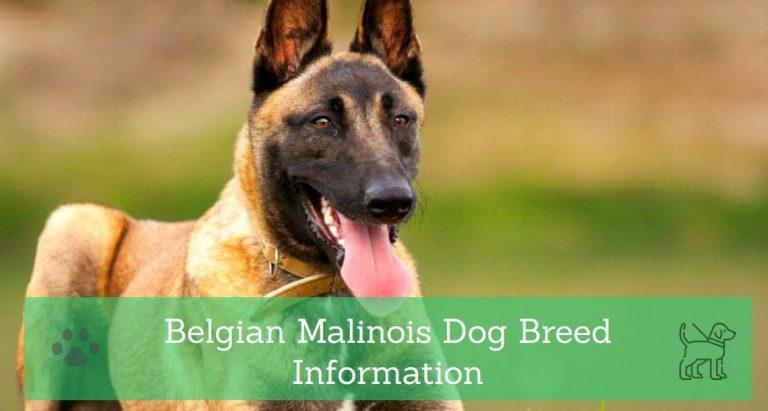 Belgian Malinois Dog Breed Information
