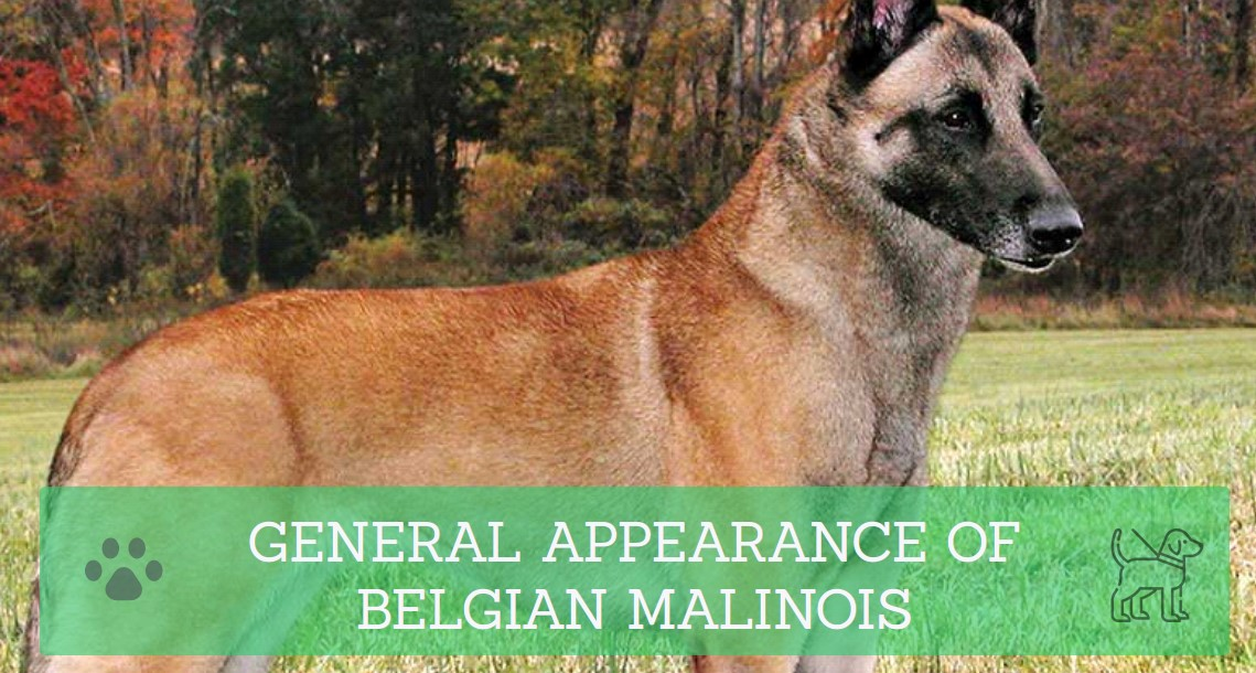 GENERAL APPEARANCE OF BELGIAN MALINOIS