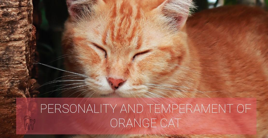 PERSONALITY AND TEMPERAMENT OF ORANGE CAT