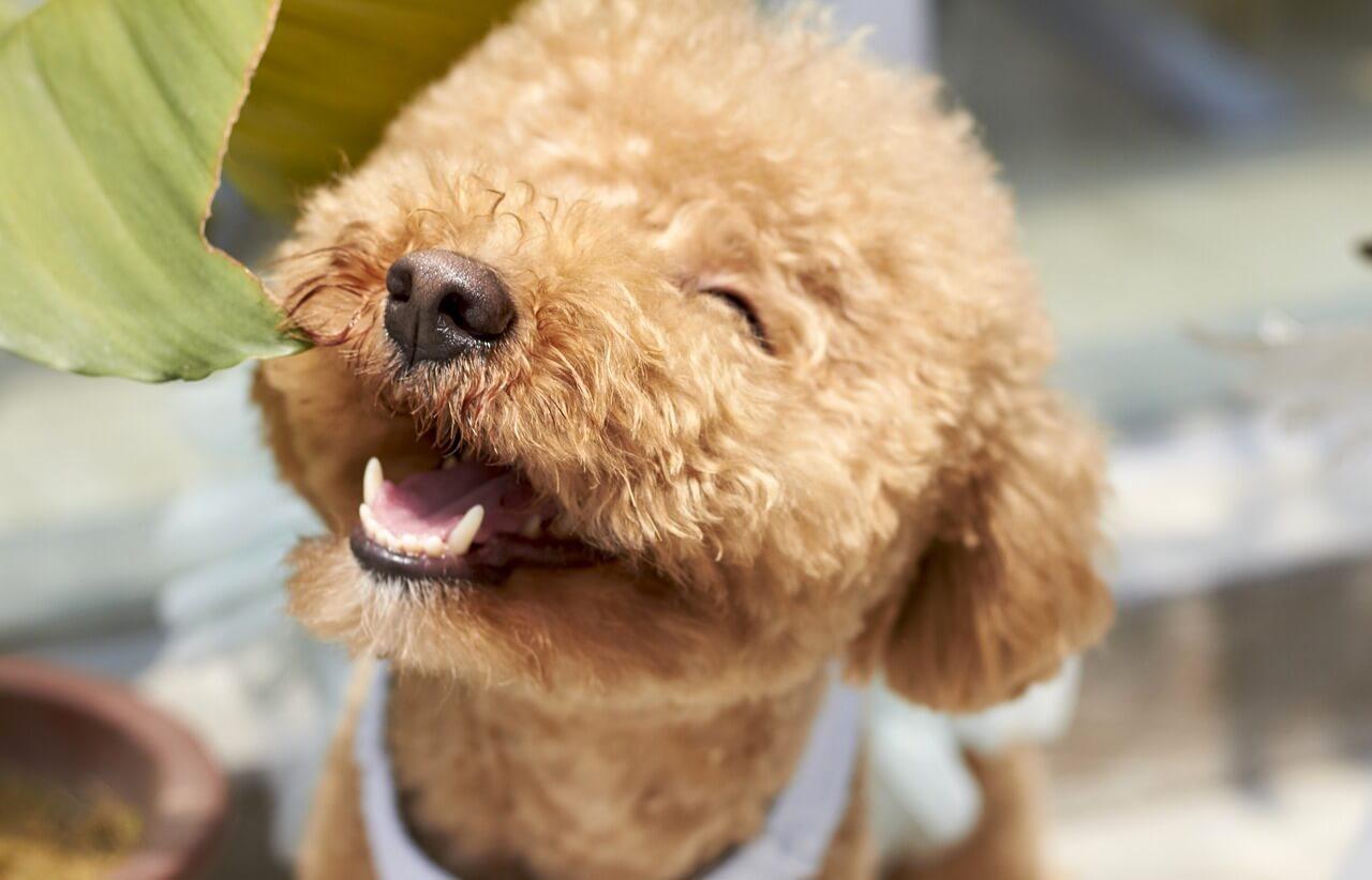 Teacup Poodle For Sale Near Me